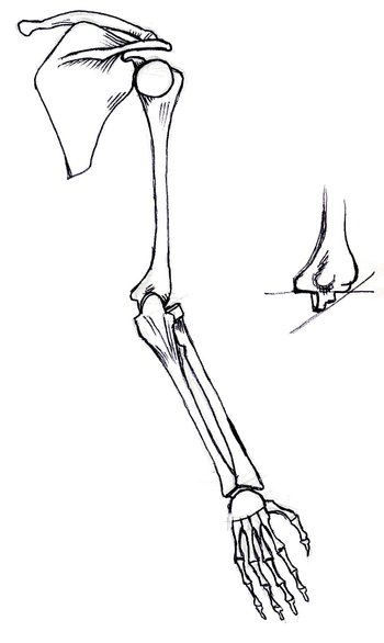 back view of bones of right arm, supinated