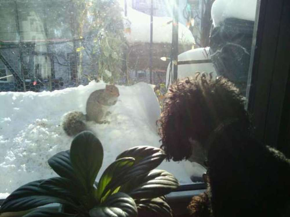 poodle and squirrel