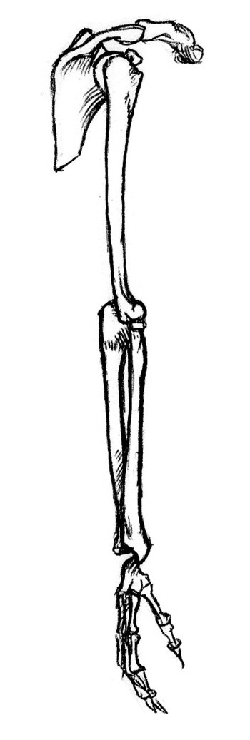 outside view of bones of right arm, pronated