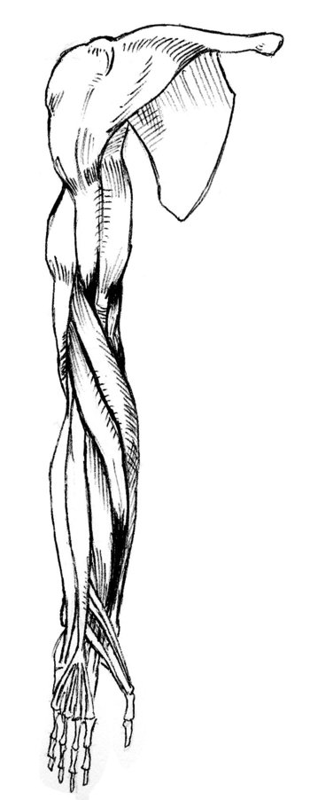 front view of muscles of right arm, pronated
