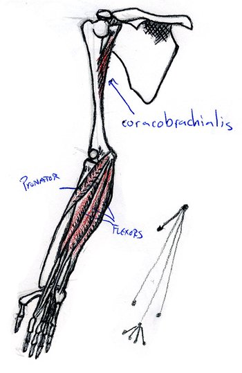 front view of bones and layer 1 of muscles of right arm, supinated