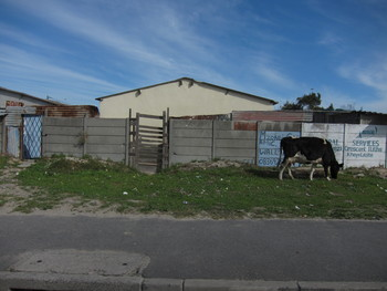 Township Cow