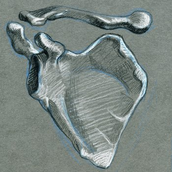 front view of scapula and clavicle