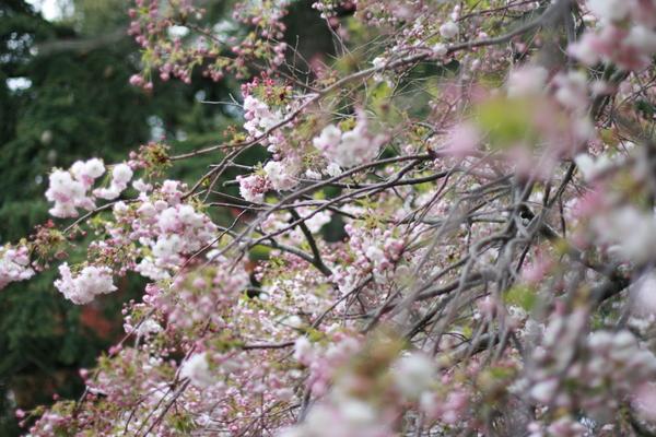 Cherry Blossom Festival 2007