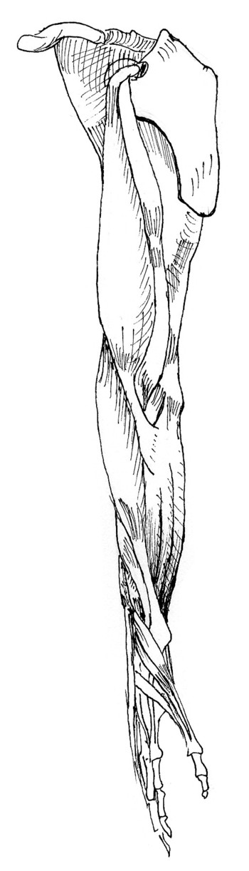inside view of muscles of right arm, pronated