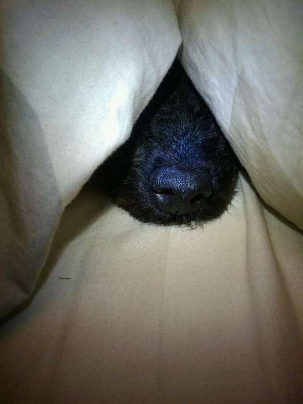 poodle nose