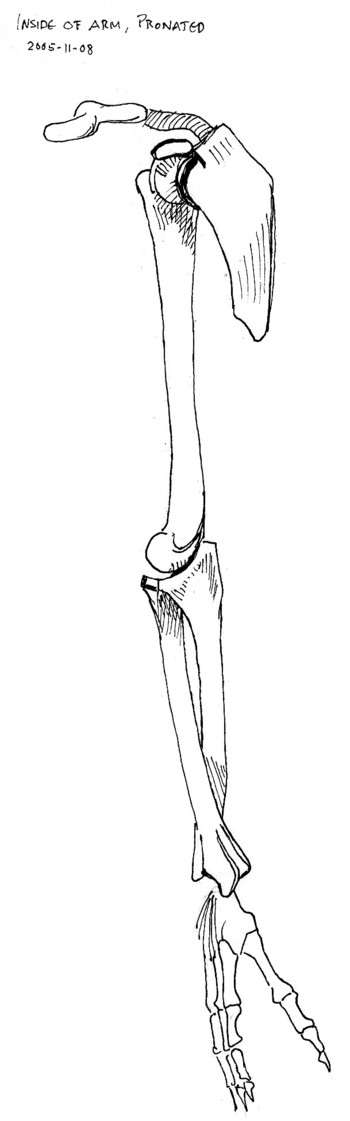 inside view of bones of right arm, pronated