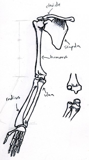 front view of bones of right arm, supinated