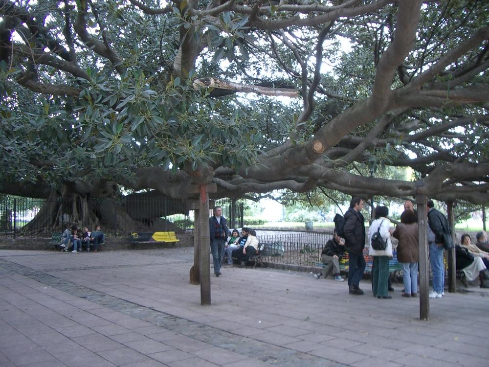 Buenos Aires 2005 - big tree
